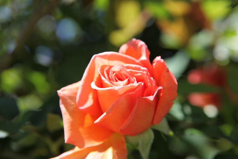 rose_087