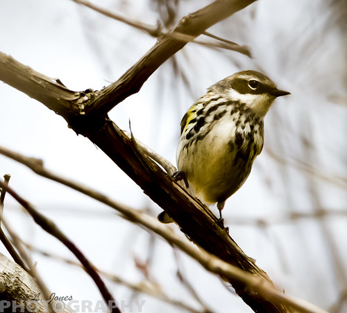 Yellow-rumped Warbler Myrtle by Ricky L. Jones Photography