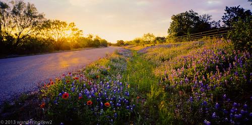 road flower 120 film sunrise mediumformat geotagged texas bluebonnet panoramic wildflower filmscan countyroad coreopsis texaswildflowers indianblanket llanocounty plainscoreopsis 21panoramic 6x12 horseman612 horseman6x12 lupinustexsenis horseman6x12panoramiccamera geo:lat=30677605748744806 geo:lon=9852125137927942