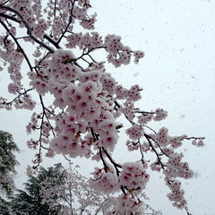 西公園の桜その3
