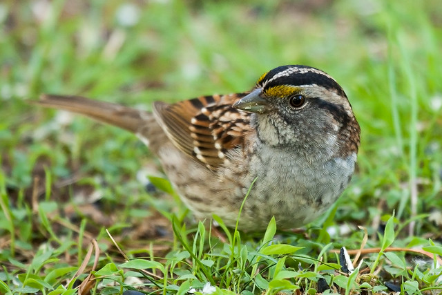 white throated sparrow from a blind in backyard