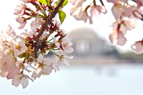 Cherry blossom time in Washington, D.C. 07