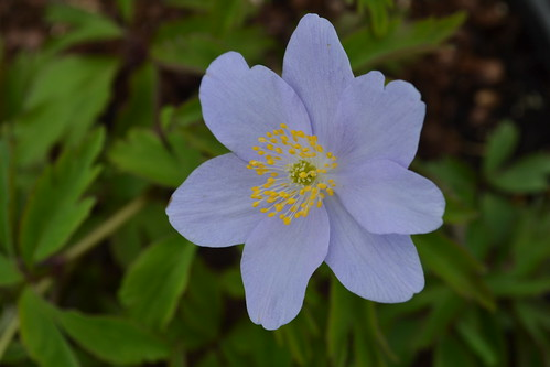 ANEMONE nemorosa 'Behemoth Blue'