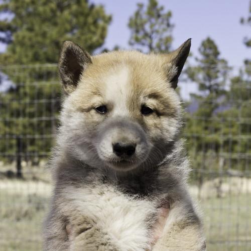 Ike-Kilbe-Pup2-Male(Day 40)-1