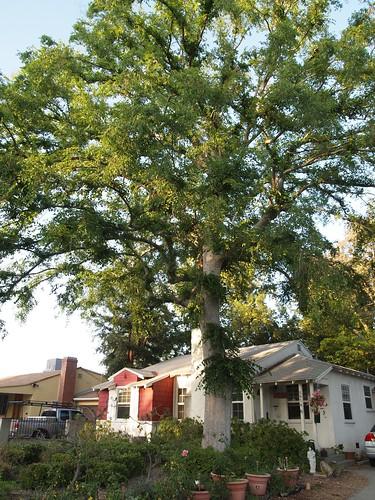 Garden Inventory: Chinese Elm (Ulmus parvifolia) - 05
