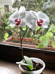 cyclamen(0.0), floristry(0.0), flower(1.0), plant(1.0), flora(1.0), moth orchid(1.0),