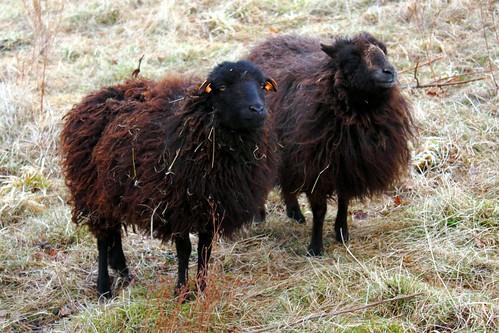 Defroidmont Sheep