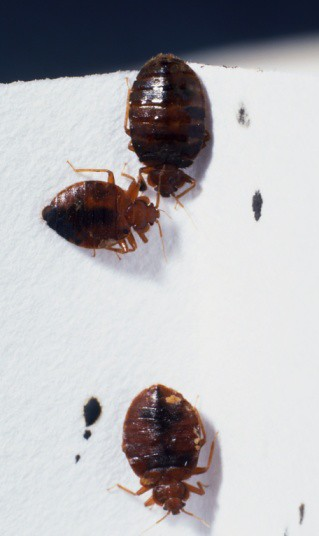Bed Bug Eggs Die At What Temperature
