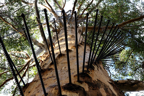 Pemberton - Gloucester Tree - So Many Rungs
