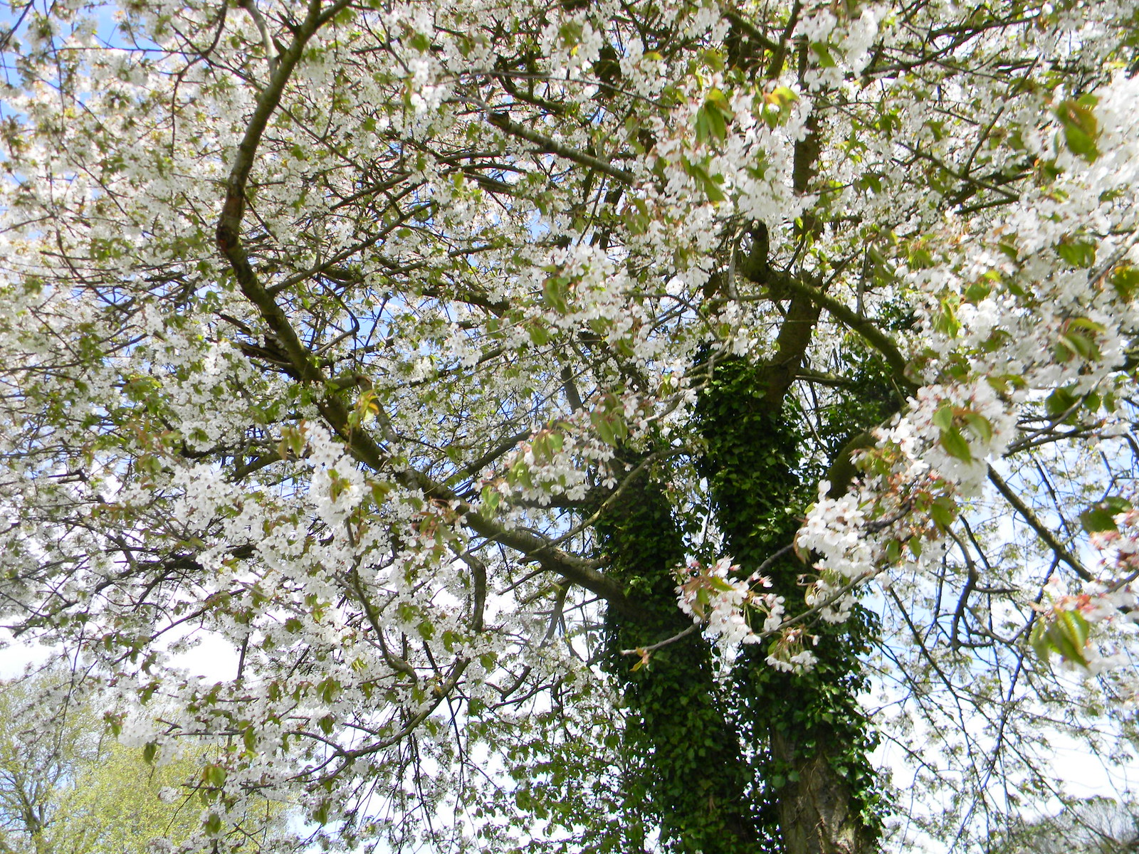 Flowering tree Shiplake to Henley