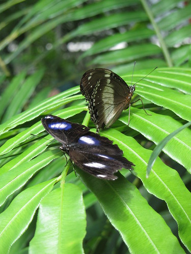 a common eggfly