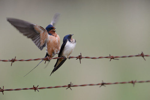 Barn Swallows-42591.jpg