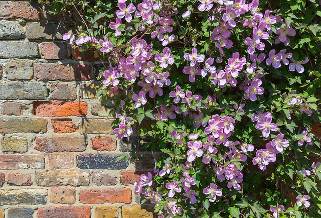 Clematis wall flickr photo sharing for Plante pour cacher un mur
