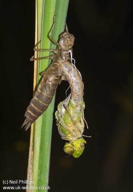 emerged emperor dragonfly 2