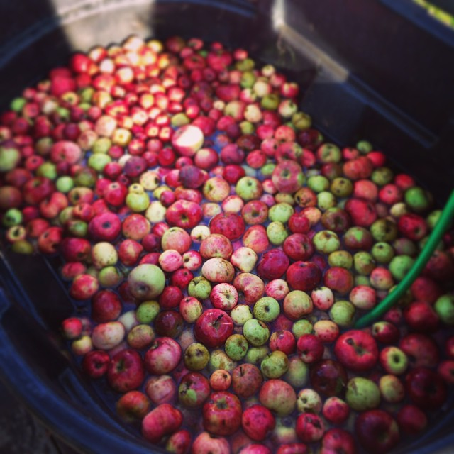 Wild apples at a cider press. Going to make fresh cider with my neighbors.