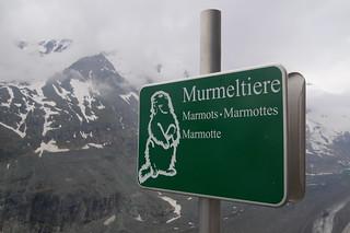 097 Bord Alpenmarmot