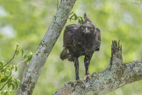 Changeable Hawk-Eagle or Crested Hawk-Eagle (Nisaetus cirrhatus)