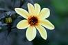 Lightly Yellow Flower
