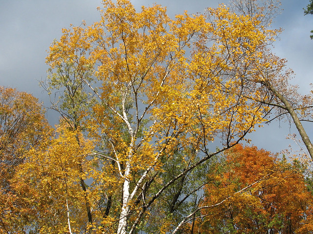 Paper birch in Fall color