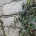 Garden Inventory: Ficus repans - 09