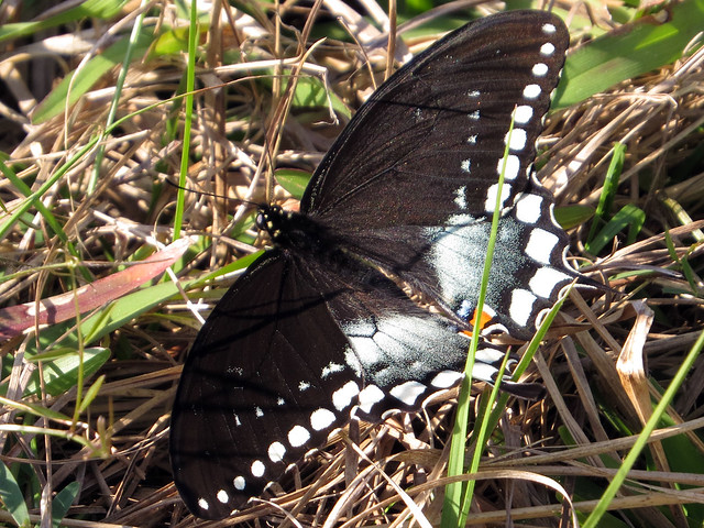 Spicebush Swallowtail female