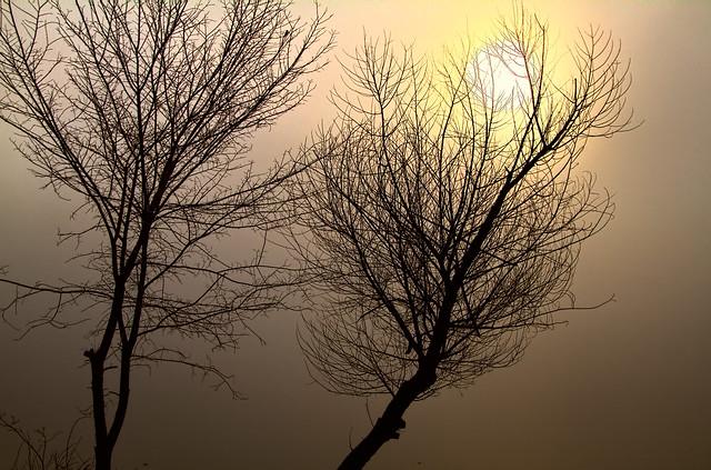 Trees by Foggy Lake