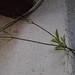 Garden Inventory: Clytostoma callistegioides - 05