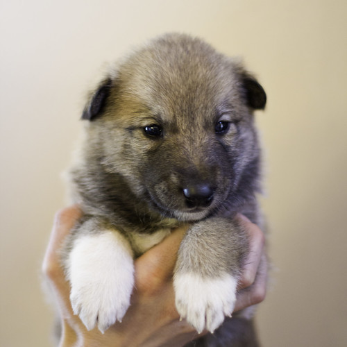 Ike-Kilbe-Pup3-Male(Day 22)-1