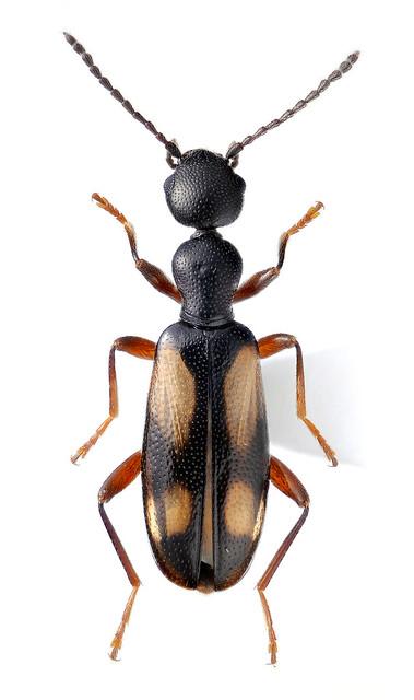 Anthicus watarasensis