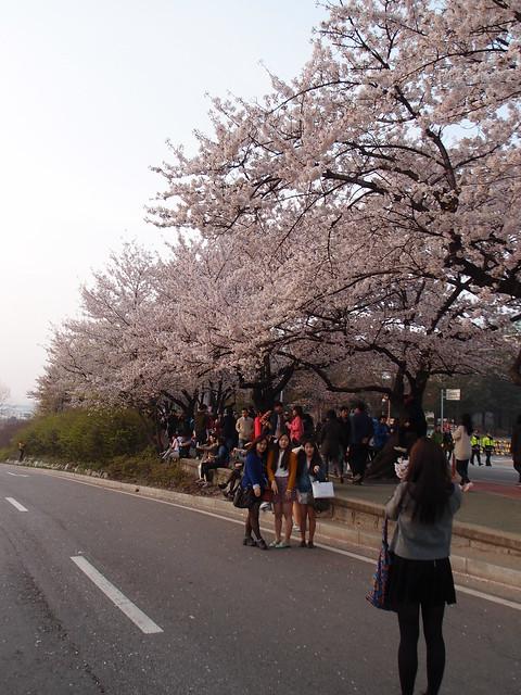 2013韓國首爾汝矣島櫻花@4/21