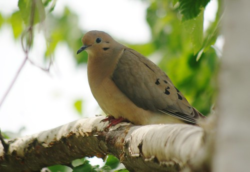 Mourning Dove in the Birch