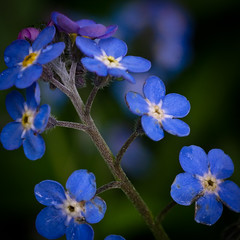 annual plant, flower, plant, macro photography, flora, forget-me-not, blue, petal,