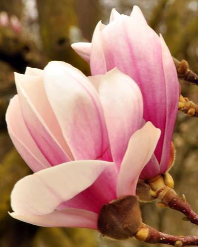Magnolie Tulpenmagnolie Blüte blühen April 2013