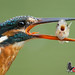 Common Kingfisher 普通翠鳥006 by soong27