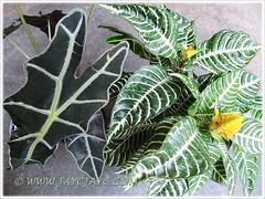 Alocasia sanderiana (Kris Plant) and Aphelandra squarrosa (Zebra Plant)