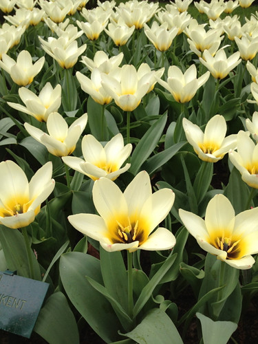 Keukenhof - white yellow tulips