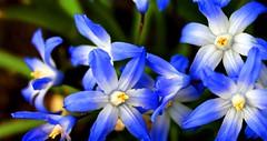 blossom(0.0), hyacinth(0.0), flower(1.0), nature(1.0), macro photography(1.0), wildflower(1.0), flora(1.0), close-up(1.0), scilla(1.0), blue(1.0), petal(1.0),