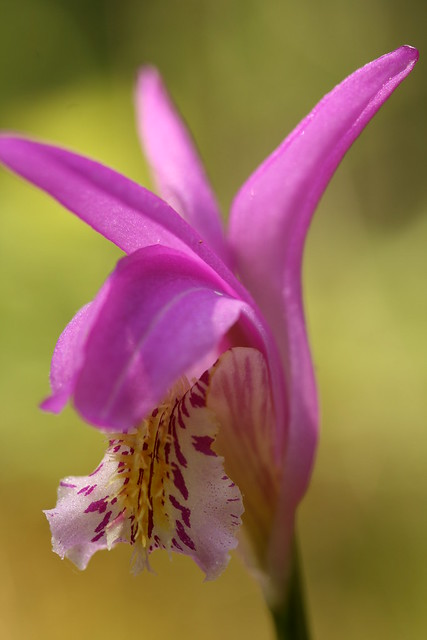 Arethusa bulbosa, commonly known as dragon's mouth. Threatened in New York State. Photo by Uli Lorimer.