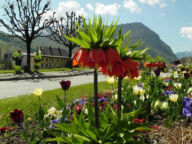 Fritillaire ou couronne impériale=Fritillaria imperialis