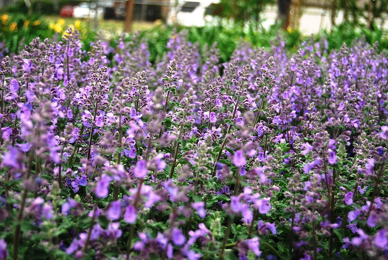 NEPETA WALKERS LOW (CATMINT)