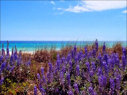 gulfofmexico nature sunshine florida seashore panamacitybeach lupine autofocus nikoncoolpix8700 autoexposure corelpaintshoppro baycountyflorida coastallupine me2youphotographylevel1