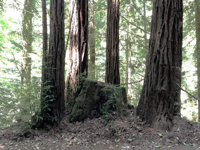 Typical circle of a family of redwoods