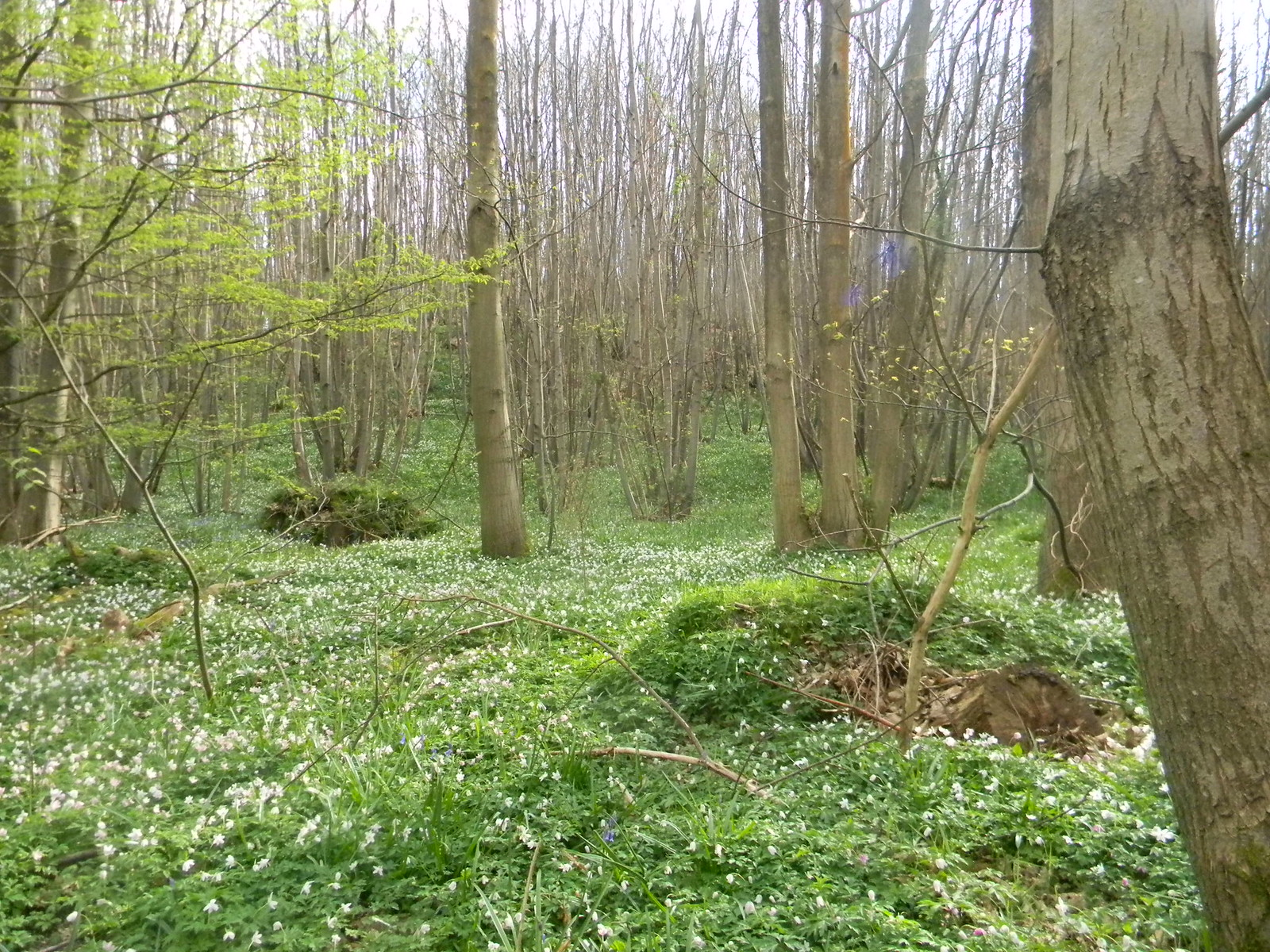 Wood anenome Vast carpets of the stuff. Bekesbourne Circular
