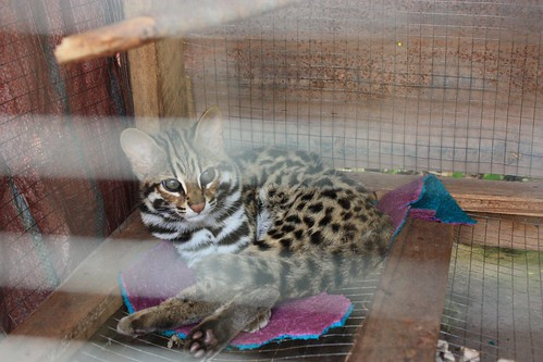 supposedly the guy who now owns this leopard-like cat, bought it from a Hmong trader that already sold this cats dead mother