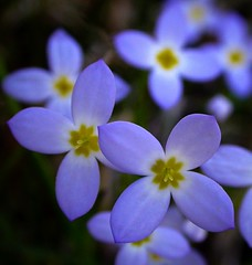 Bluets - top down macro