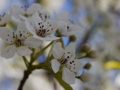 日, 2013-04-14 11:04 - Callery Pear