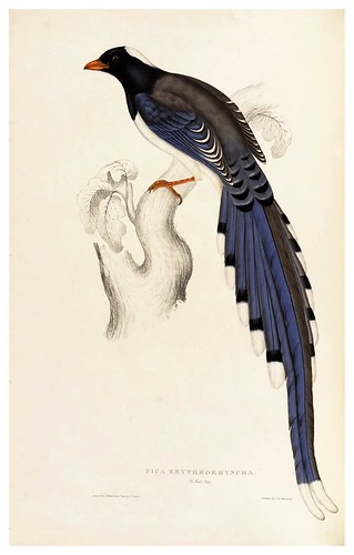 016-Pica Erythrorhyncha-A Century of Birds from the Himalaya Mountains-John Gould y Wm. Hart-1875-1888-Science Naturalis