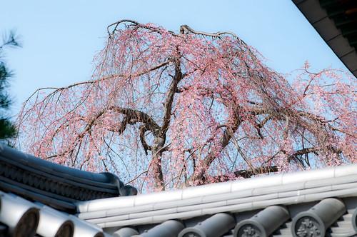 京都高台寺枝垂桜