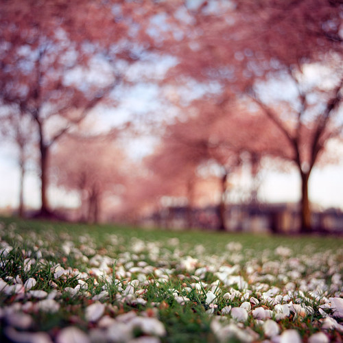 6x6 film oregon analog square portland spring pacificnorthwest cherryblossoms pdx pentaconsixtl bluemooncamera blossomedout