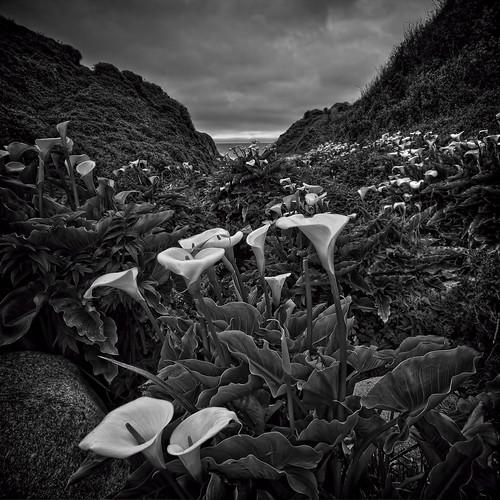 The Wild Calla Lilies of Garrapata.....